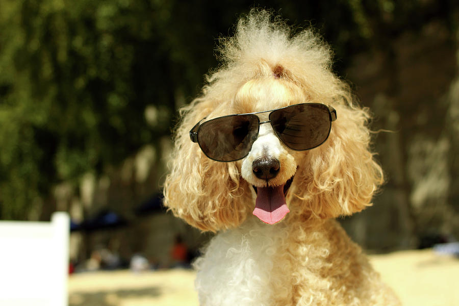 Smiling Poodle Wearing Sunglasses On Beach Photograph