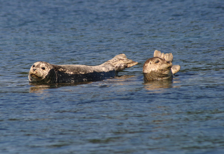 Smiling Seals Of Puget Sound Photograph