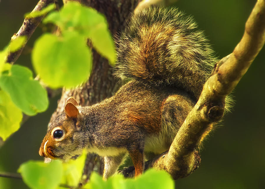 Bad Teeth Photograph - Snaggletooth Squirrel In Tree by Bill Tiepelman