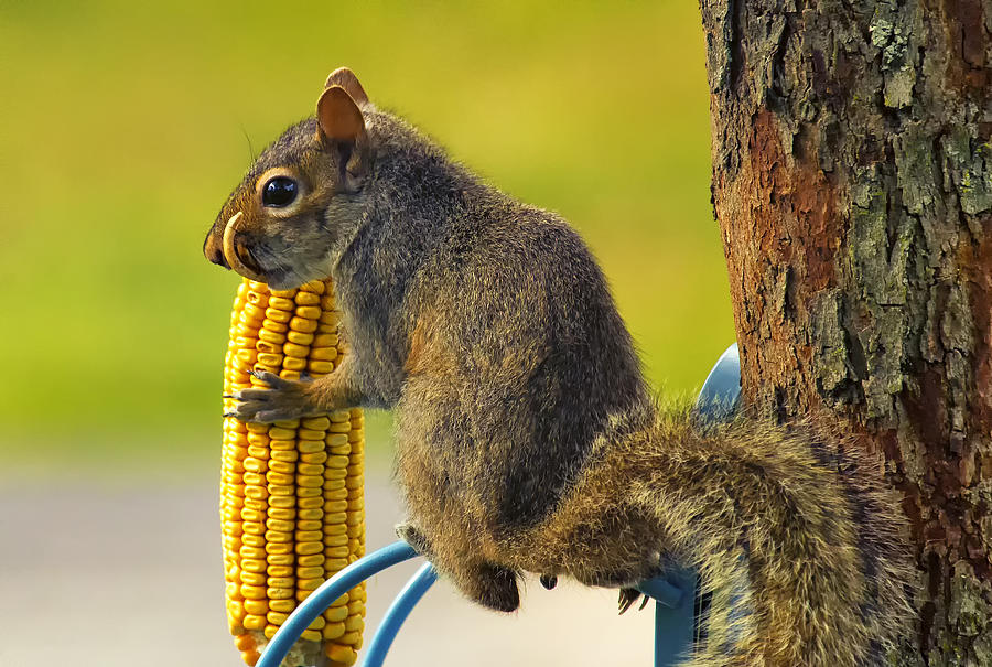 Snaggletooth Squirrel With Corn Photograph  - Snaggletooth Squirrel With Corn Fine Art Print