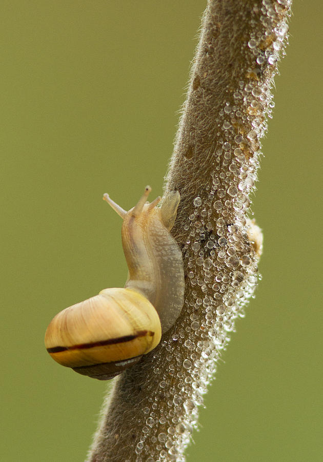 Snail In Dew Photograph
