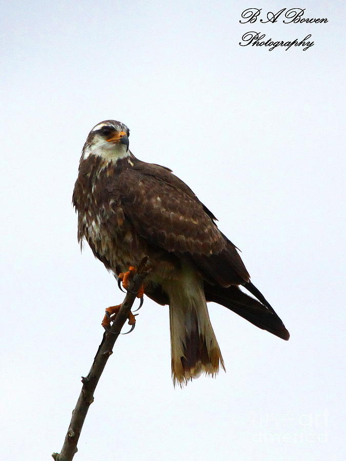 Snail Kite Photograph