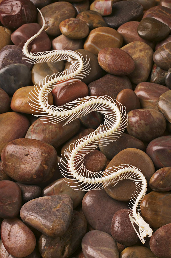 Snake Skeleton  Photograph