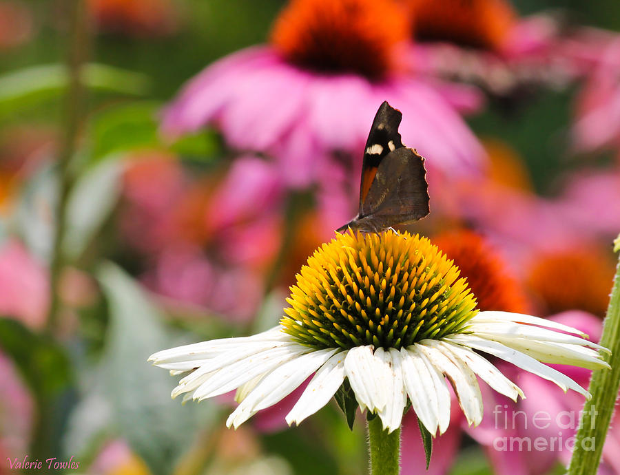 Snout Butterfly Photograph  - Snout Butterfly Fine Art Print