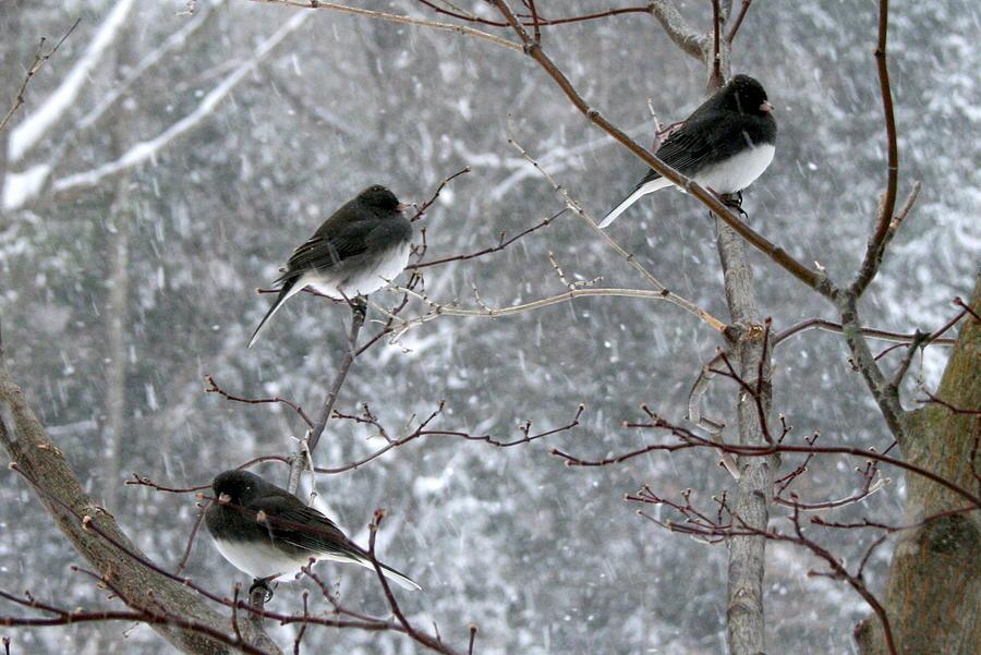 Snow birds by susan moore