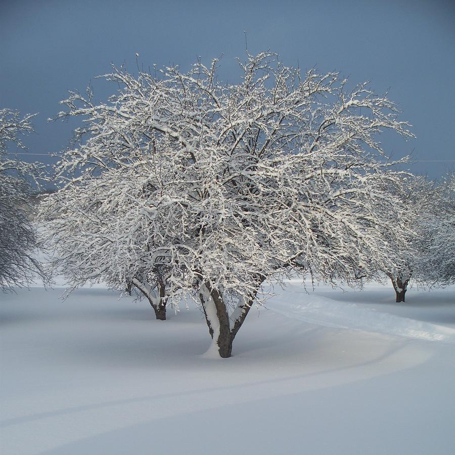 Snow-covered Apple Tree Photograph  - Snow-covered Apple Tree Fine Art Print