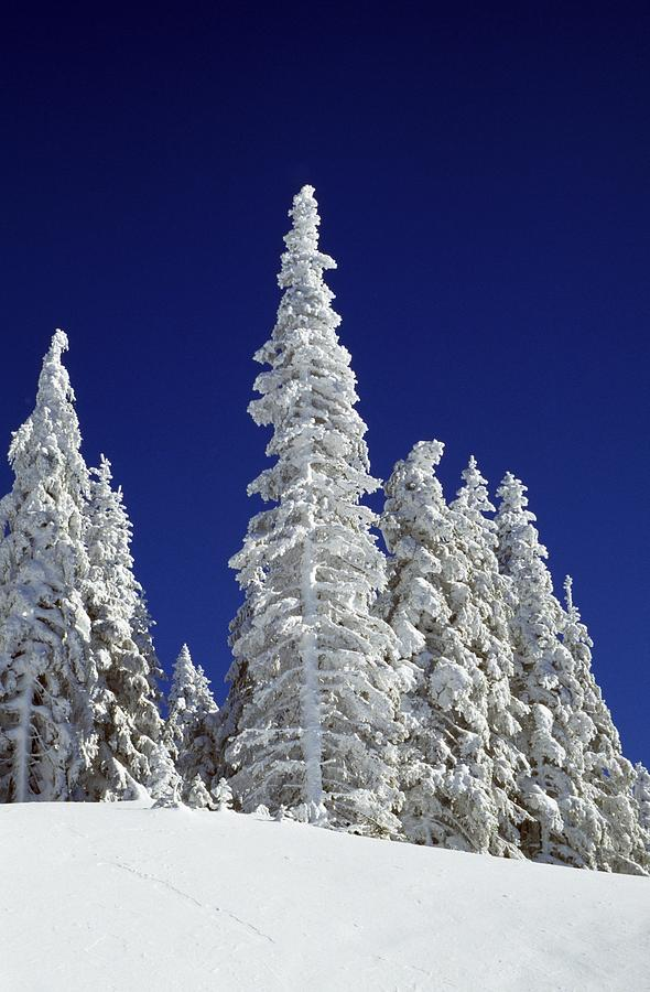 Frozen Photograph - Snow-covered Pine Trees by Natural Selection Craig Tuttle