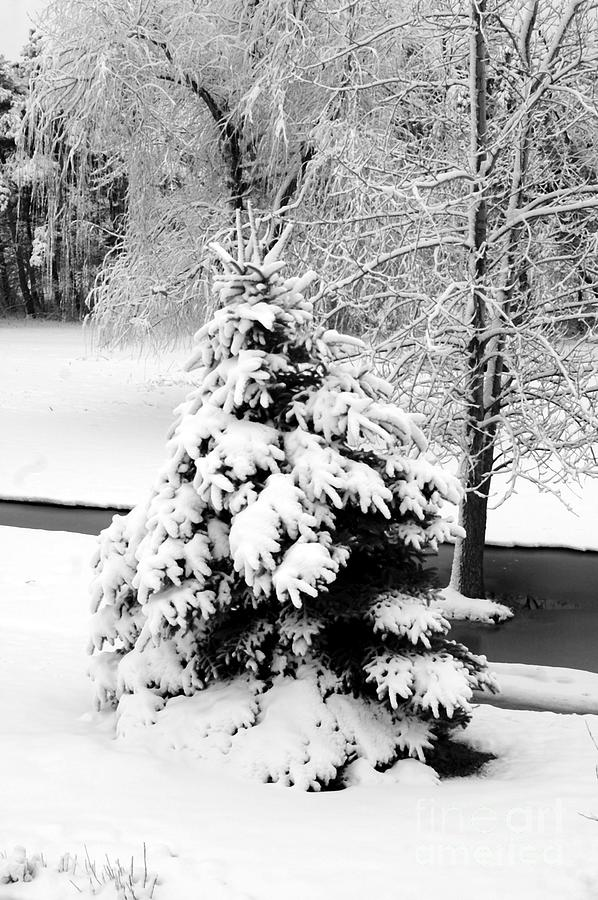 Snow Covered Trees Photograph  - Snow Covered Trees Fine Art Print