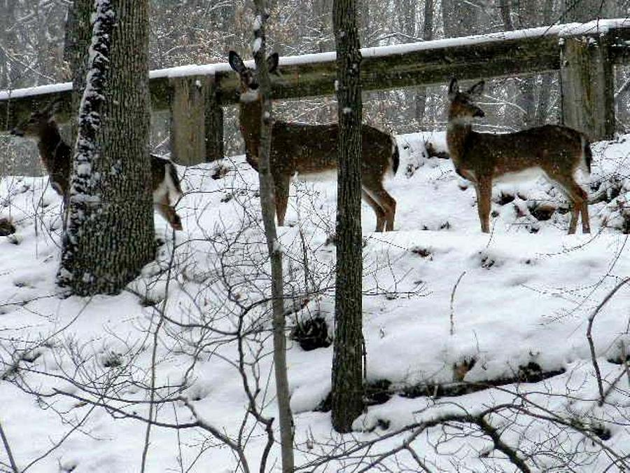 Snow Deer - Rock Creek Park Washington Dc Photograph