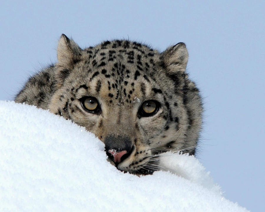 Snow leopard face side - photo#54