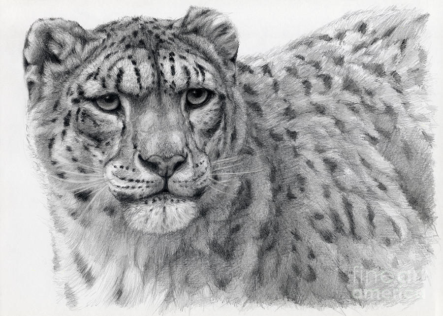 Snow leopard drawing - photo#8