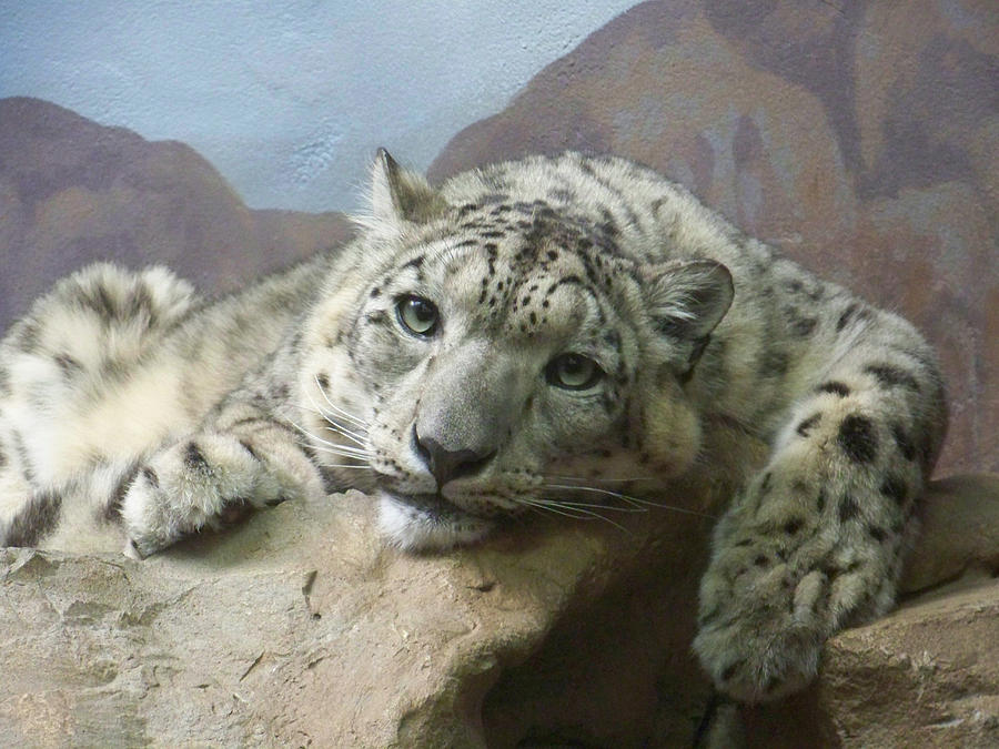 Snow Leopard Relaxing Photograph  - Snow Leopard Relaxing Fine Art Print