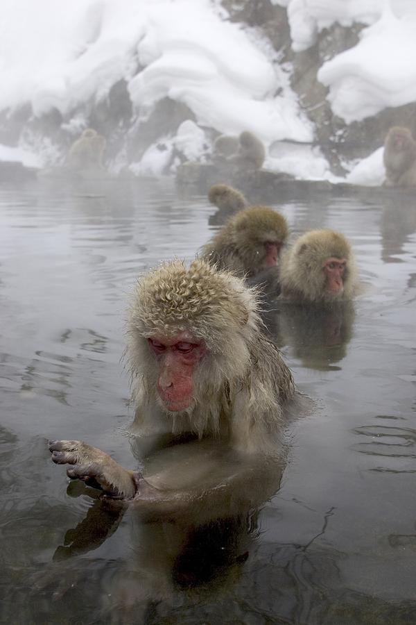 Snow Monkeys (macaca Photograph  - Snow Monkeys (macaca Fine Art Print