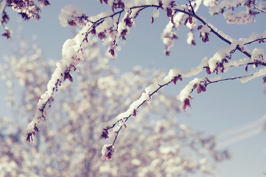 Snow On Spring Blossom Branches Photograph  - Snow On Spring Blossom Branches Fine Art Print