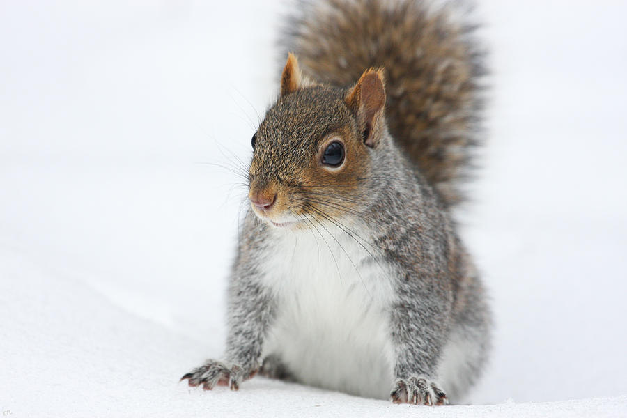 Snow Squirrel Photograph
