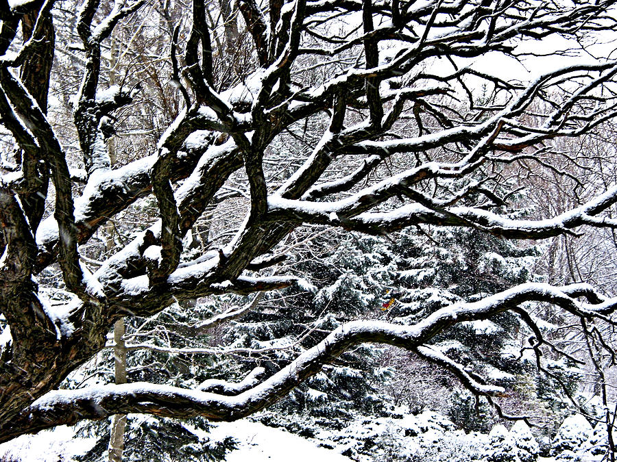 Snowfall And Tree Photograph
