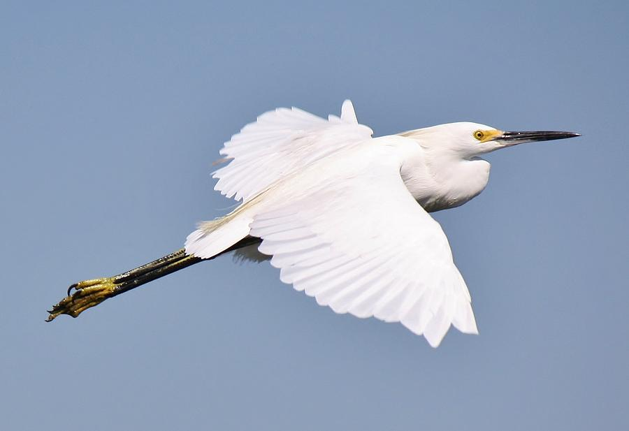 Snowy Egret In Flight Photograph