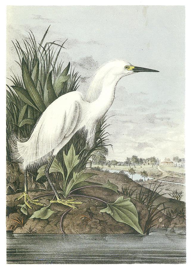 BTO Bird ID  Cattle Egret  YouTube