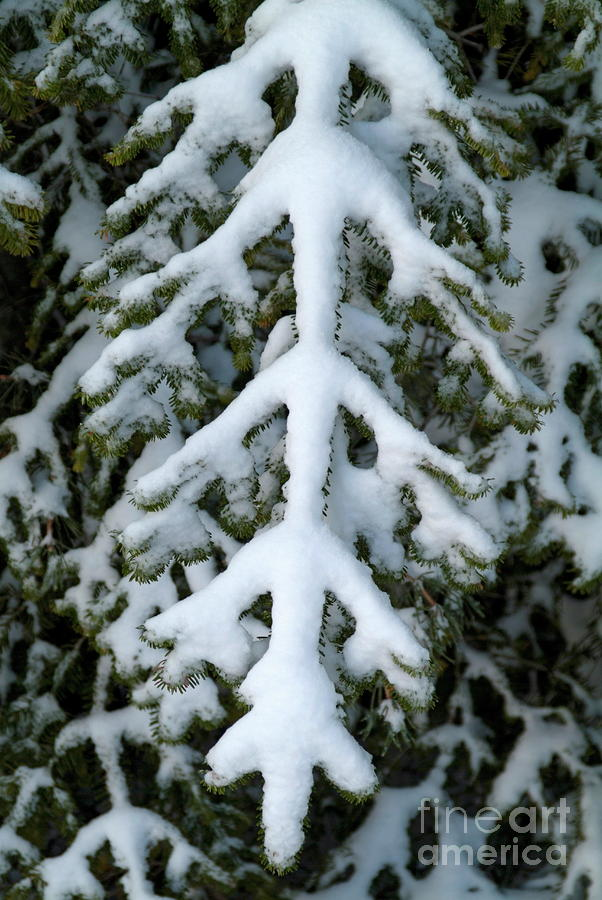 Snowy Fir Tree Photograph