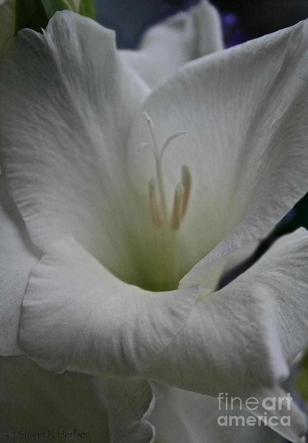 Snowy Gladiolus Photograph