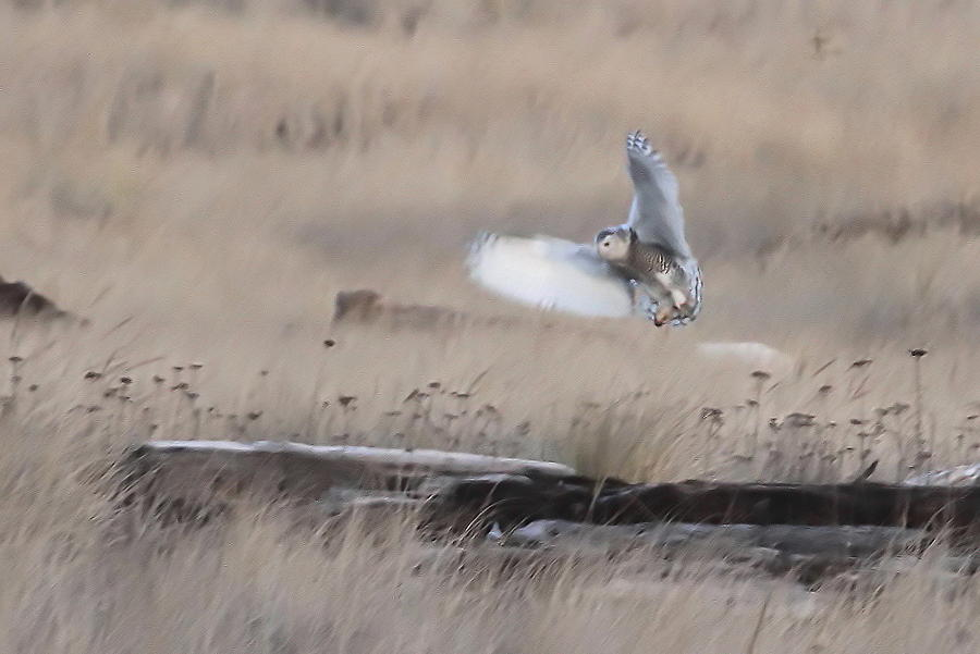 Snowy Owl Landing Photograph by Angie Vogel