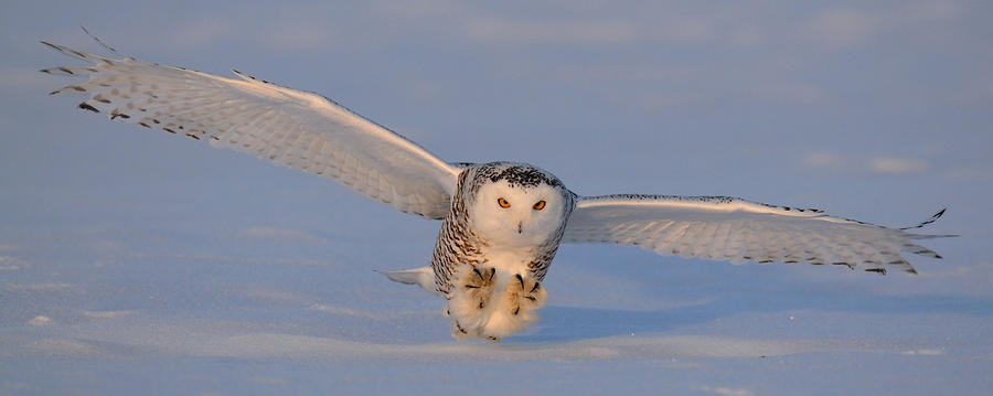 Snowy Owl Last Light Photograph