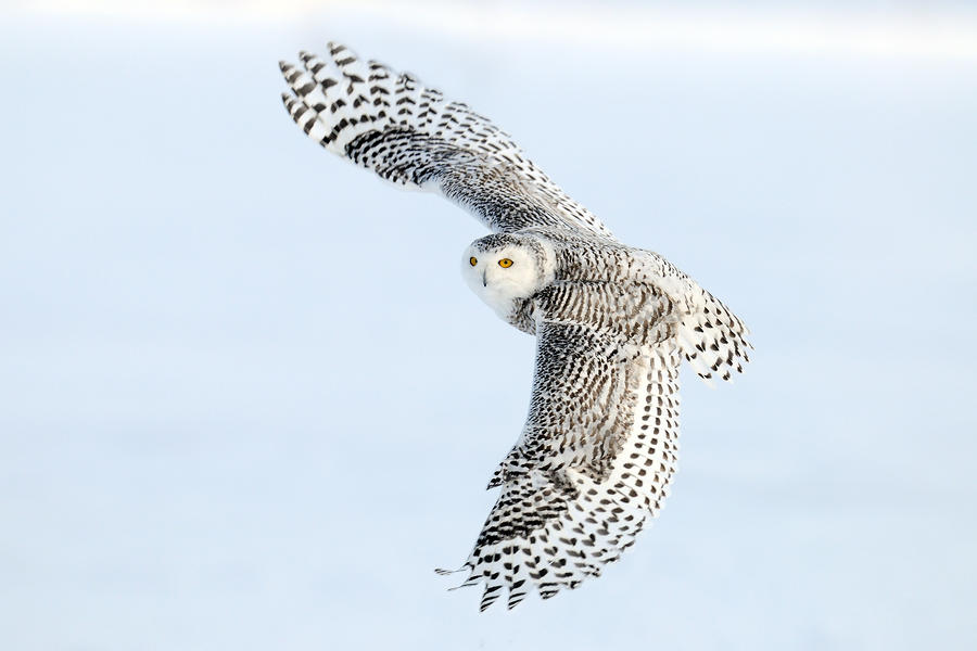 Snowy Owl Topside Photograph