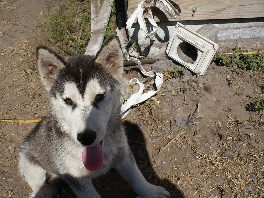 So You Want A Siberian Husky Photograph