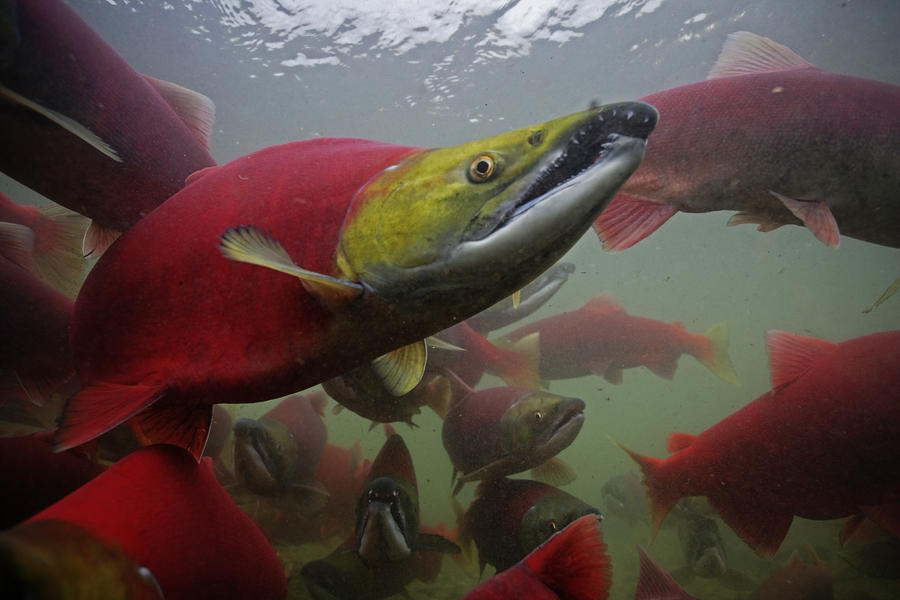 Sockeye Salmon Find Their Way Photograph