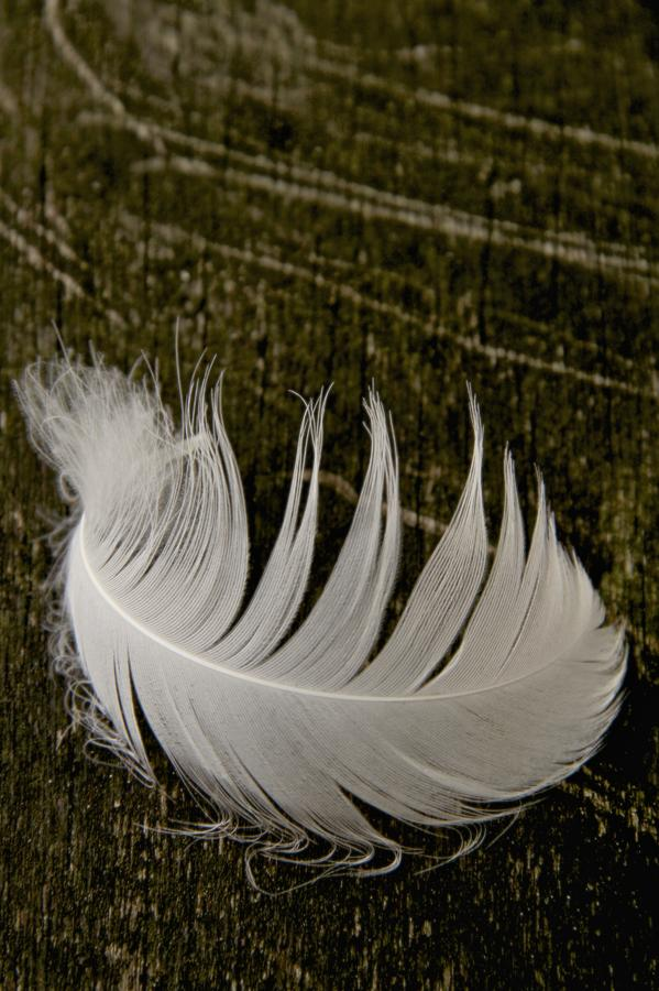 Feather Photograph - Soft Curve One by Odd Jeppesen