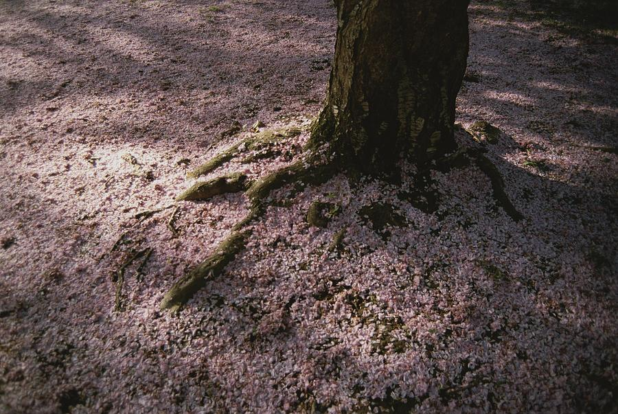 Soft Light On A Pink Carpet Of Fallen Photograph