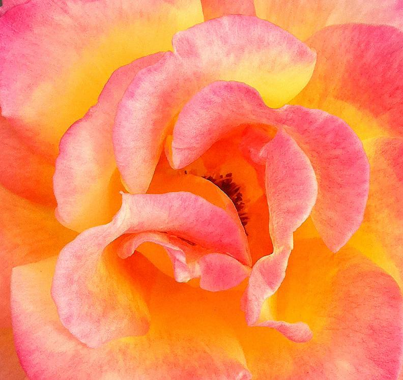 Becky Photograph - Soft Petals by Becky Lodes
