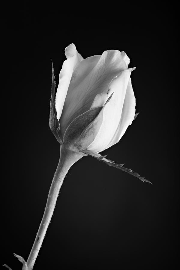 Rose Photograph - Soft Rose Black And White by M K  Miller