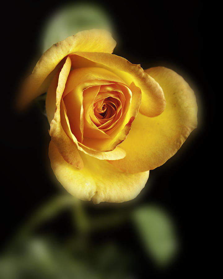 Soft Yellow Rose On Black Photograph