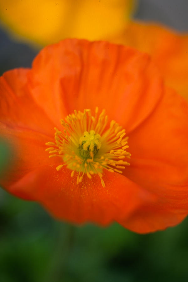 Softly Poppies Photograph
