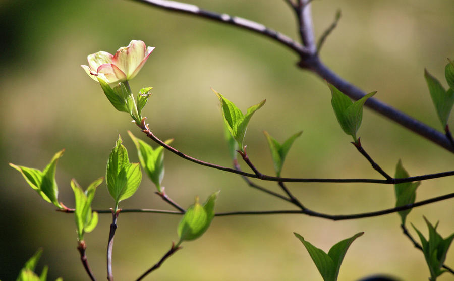 Solitary Dogwood Bloom Photograph  - Solitary Dogwood Bloom Fine Art Print