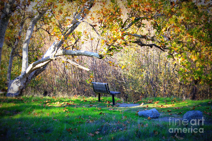 Solitude Under The Sycamore Photograph  - Solitude Under The Sycamore Fine Art Print