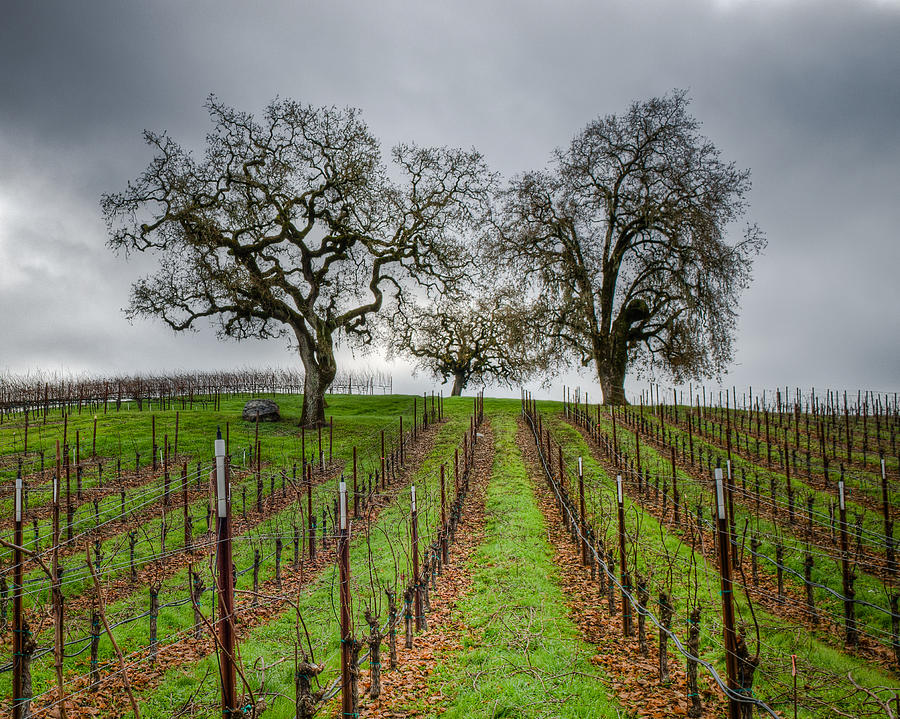 Sonoma County Vineyard Photograph  - Sonoma County Vineyard Fine Art Print