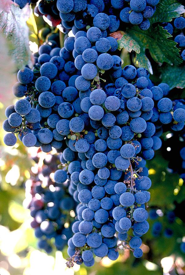 Sonoma Grapes Photograph
