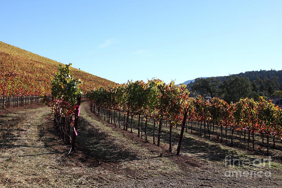 Sonoma Vineyards - Sonoma California - 5d19311 Photograph