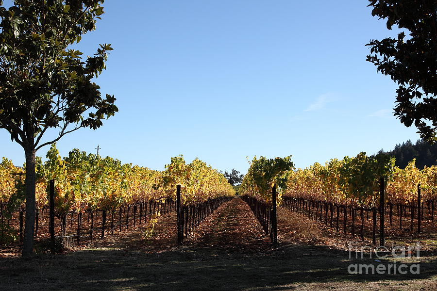 Sonoma Vineyards - Sonoma California - 5d19314 Photograph  - Sonoma Vineyards - Sonoma California - 5d19314 Fine Art Print