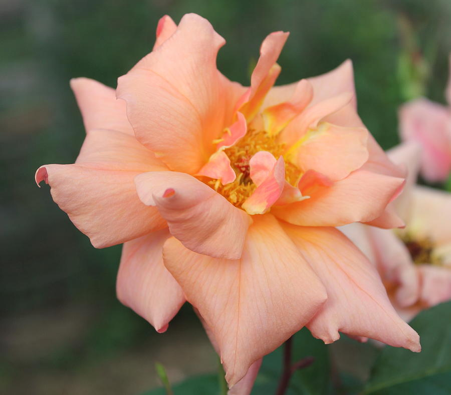 Sorbet Roses Roses Wildflowers Flowers  Photograph - Sorbet Rose 2  by Glenn Lawrence