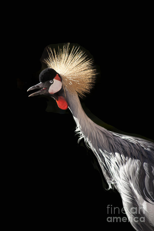 South African Grey Crowned Crane Kaanapali Maui Hawaii Photograph  - South African Grey Crowned Crane Kaanapali Maui Hawaii Fine Art Print