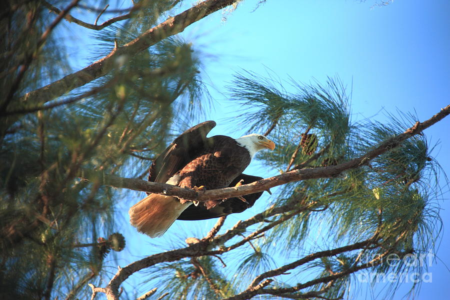 Southern Bald Eagle Photograph