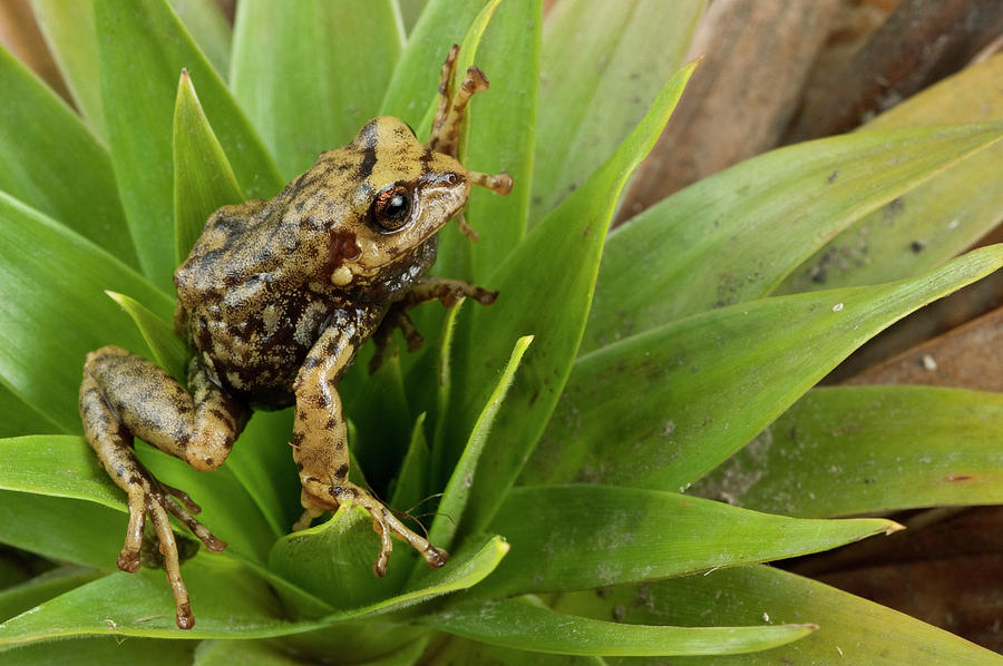 Southern Frog Pristimantis Sp, Newly Photograph