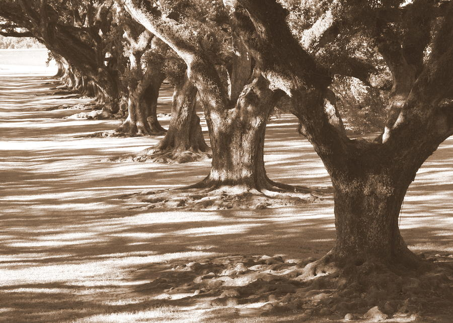 Southern Sunlight On Live Oaks Photograph