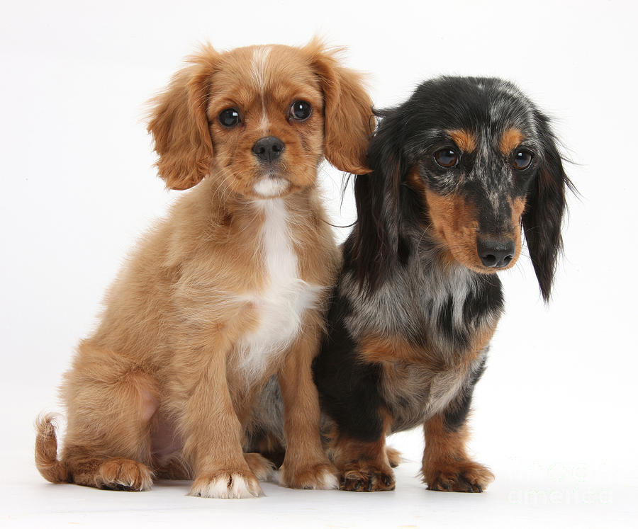 Spaniel & Dachshund Puppies Photograph