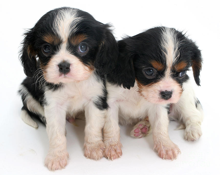 Spaniel Puppies Photograph  - Spaniel Puppies Fine Art Print
