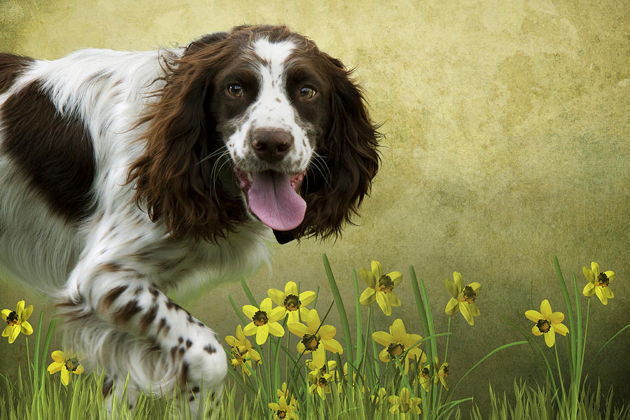 Spaniel With Daffodils Photograph