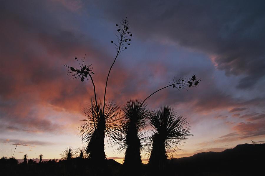 Spanish Bayonet Yucca Plants Photograph